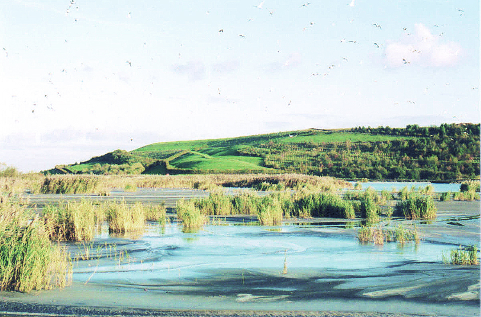 2. Gale Common reeds